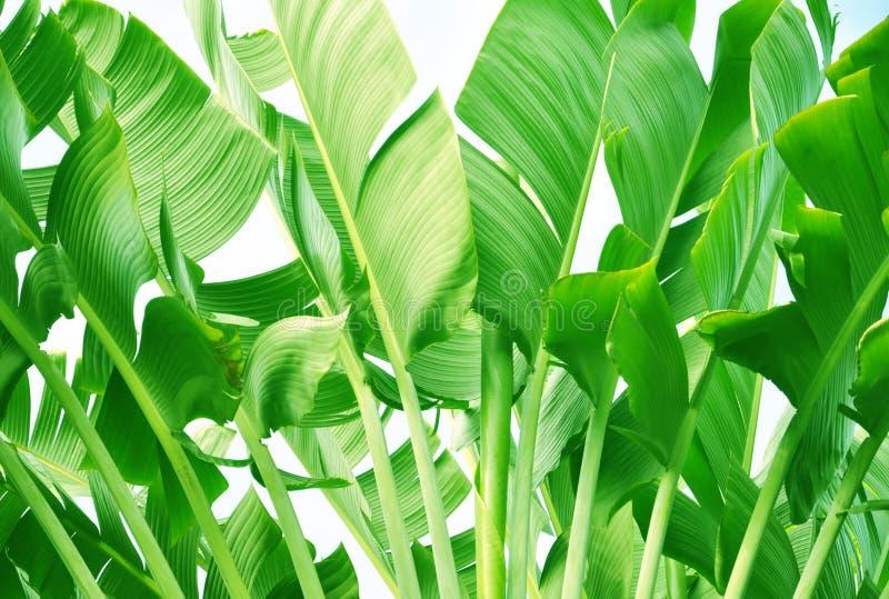 Fogli dell'albero di banana immagine stock libera da diritti