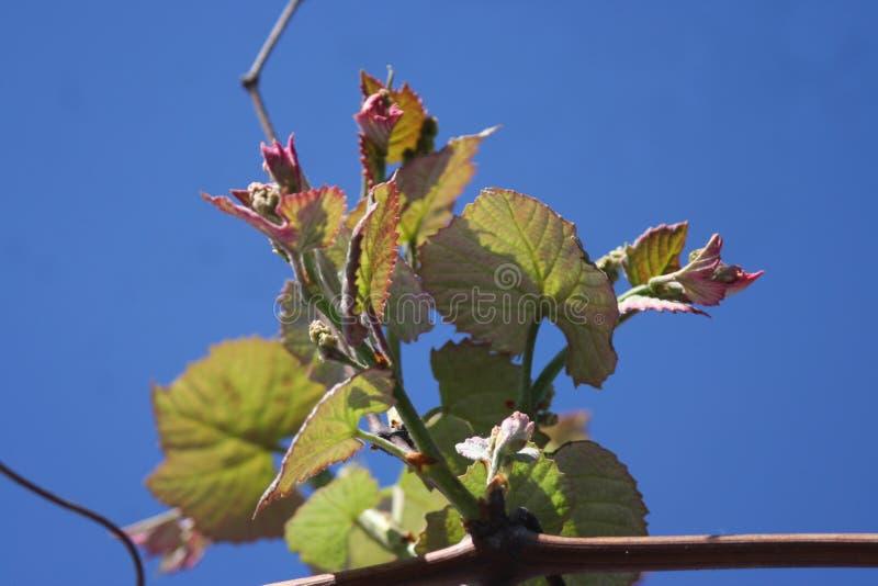 Fogli dell'uva fotografia stock libera da diritti