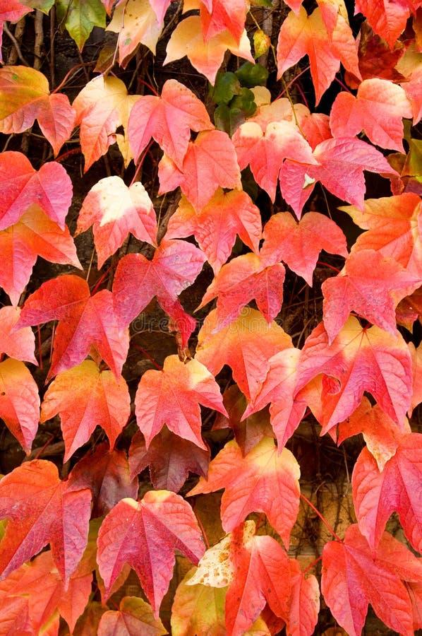 Fogli dell'uva rossa fotografie stock