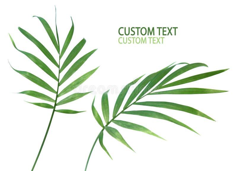 Fogli della pianta della palma immagini stock