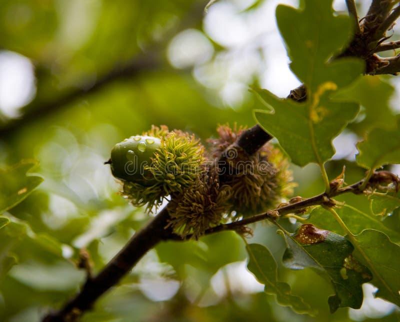 Fogli della quercia delle ghiande fotografia stock
