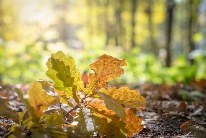 Fogli della quercia gialla immagine stock