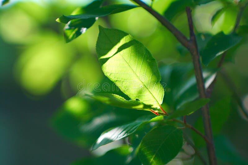 Fogli della uccello-ciliegia fotografia stock libera da diritti