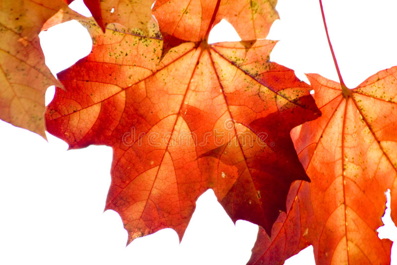 Fogli di acero rosso asciutti nella sosta di autunno fotografia stock