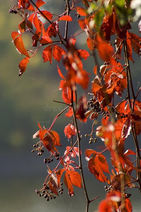 Fogli di autunno fotografia stock immagine di colore - Caduta fogli di colore stampabili ...