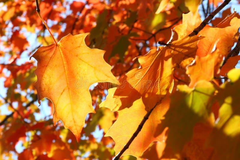 Fogli di autunno arancioni immagini stock libere da diritti
