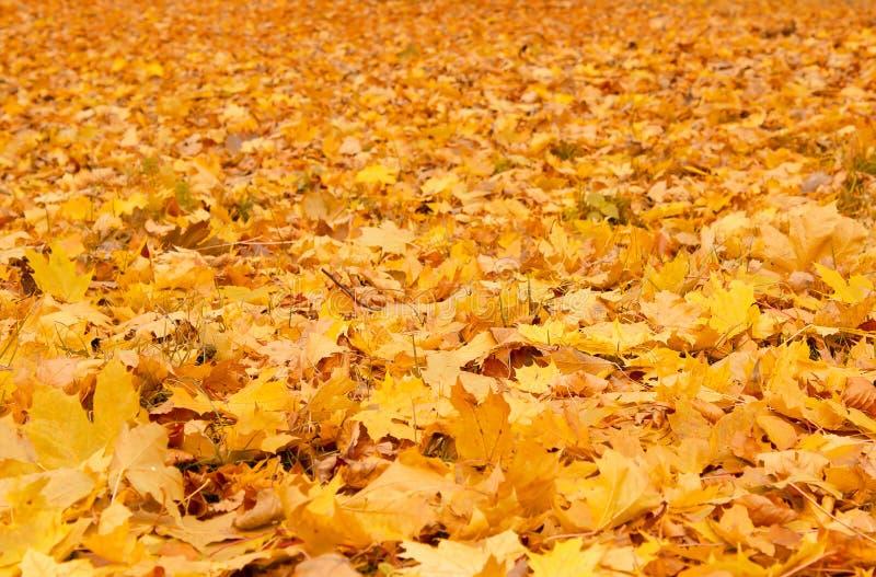 Fogli di autunno arancioni di caduta su terra immagini stock