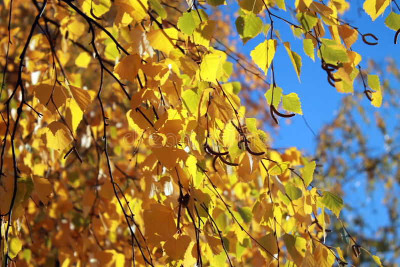 Fogli di autunno con i precedenti del cielo blu immagine stock libera da diritti