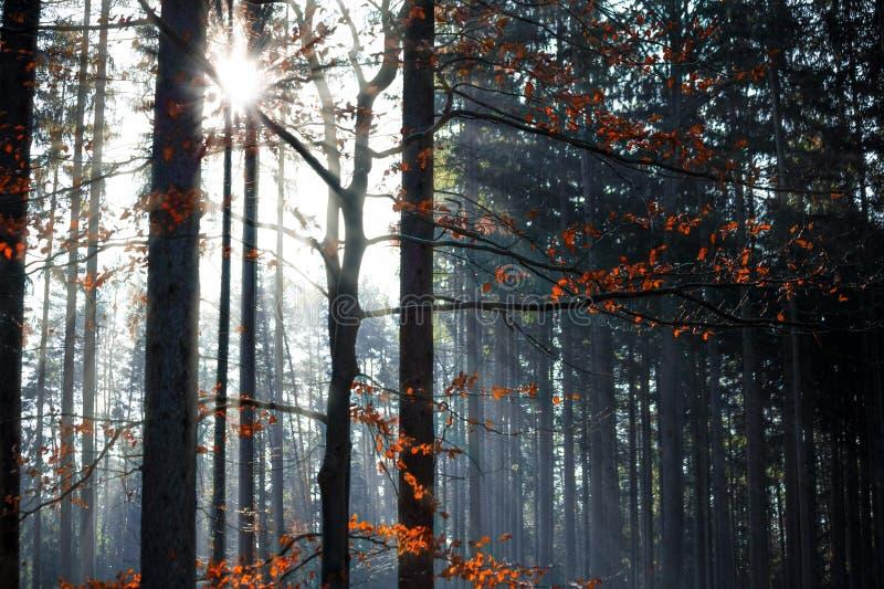 Fogli di autunno congelati sulla filiale del faggio fotografia stock