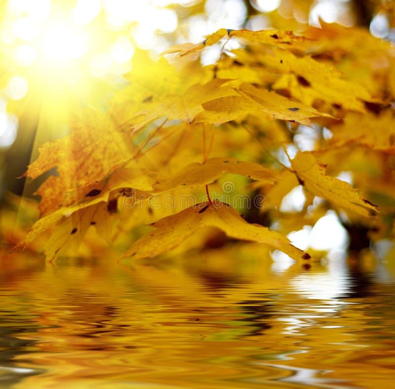 Fogli di autunno gialli fotografia stock
