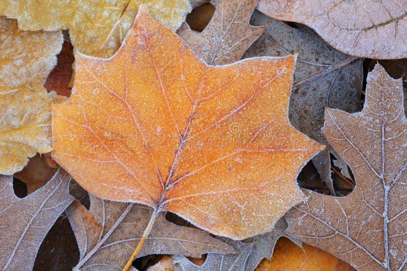 Fogli di autunno glassati immagini stock