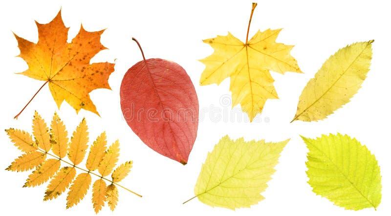 Download Fogli di autunno impostati fotografia stock. Immagine di acero - 7302398