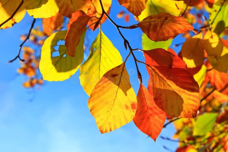 Fogli di autunno sopra la priorità bassa del cielo blu immagine stock