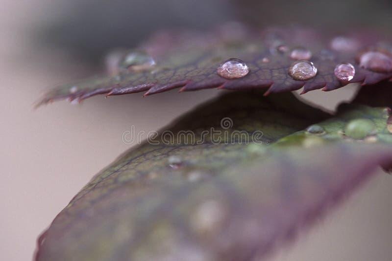 Fogli di caduta con le gocce della pioggia fotografie stock libere da diritti