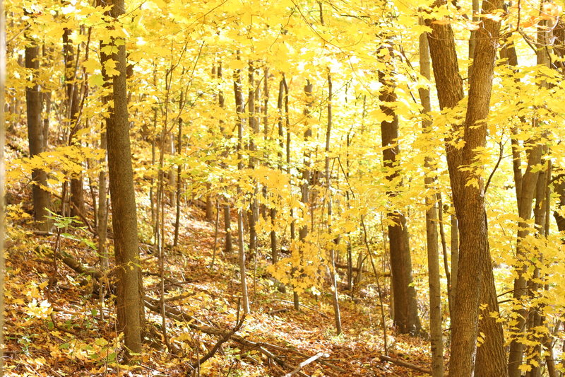 Fogli di caduta sugli alberi 1 fotografia stock