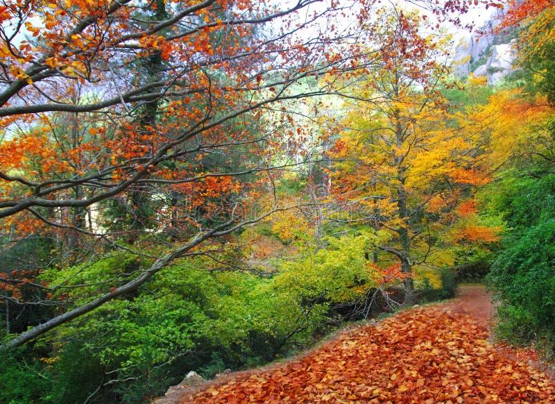 Fogli di colore giallo della pista della foresta del faggio di caduta di autunno fotografie stock