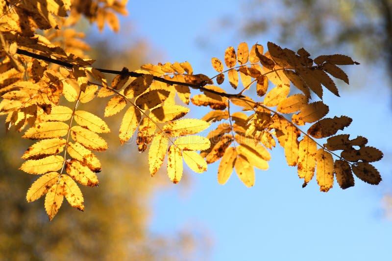 Fogli di colore giallo di una montagna As immagini stock