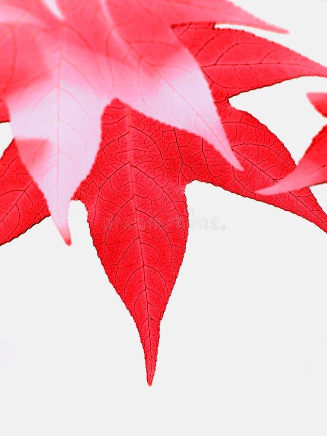 Fogli di colore rosso fotografie stock libere da diritti