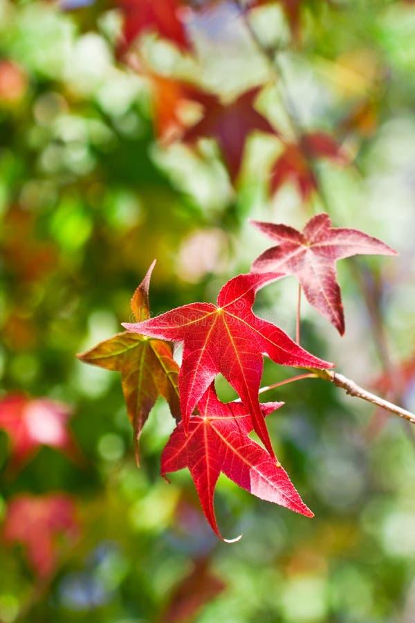 Fogli di colore rosso di autunno immagine stock libera da diritti