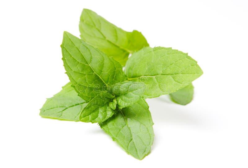 Foglie di menta verdi fresche su bianco