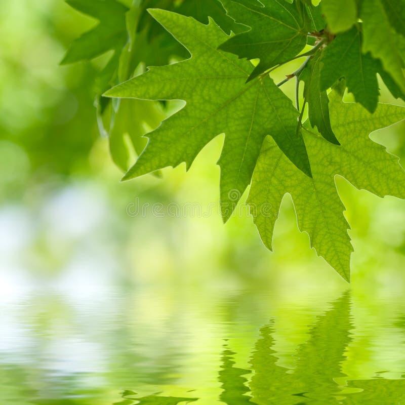 Fogli di verde che riflettono nell'acqua, immagini stock