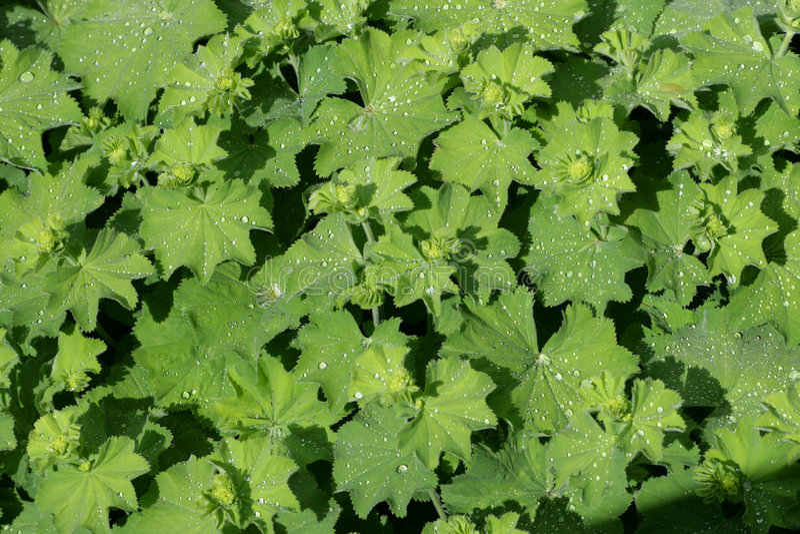 Fogli di verde coperti di gocce di pioggia immagine stock libera da diritti