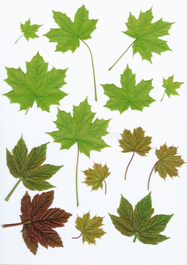 Fogli di verde degli elementi di disegno su bianco royalty illustrazione gratis