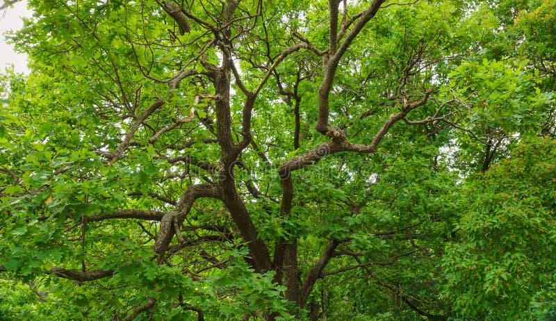 Fogli di verde dell'albero di quercia fotografie stock libere da diritti