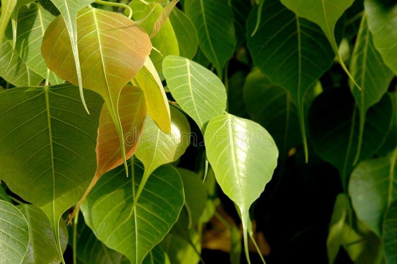Fogli di verde sull'albero immagine stock libera da diritti