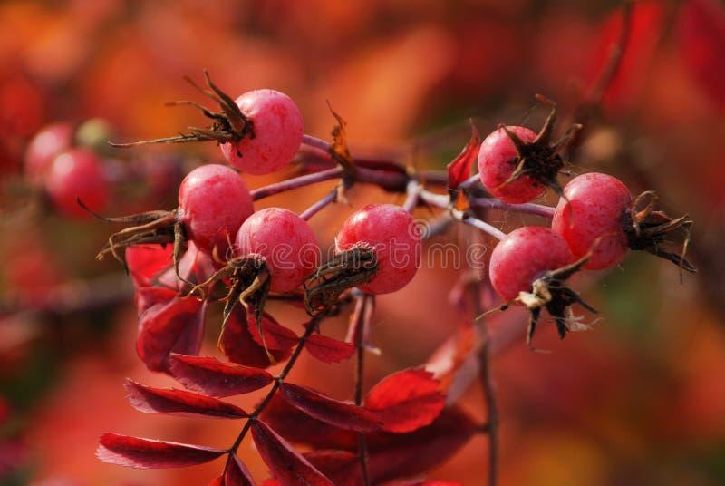 Fogli e bacche di autunno fotografia stock