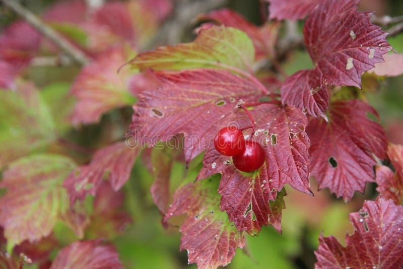 Fogli e bacche di autunno immagine stock