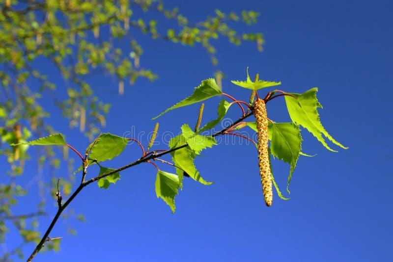 Fogli e catkins della betulla contro cielo blu luminoso fotografia stock libera da diritti