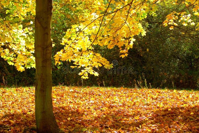 Fogli ed albero di autunno immagine stock libera da diritti