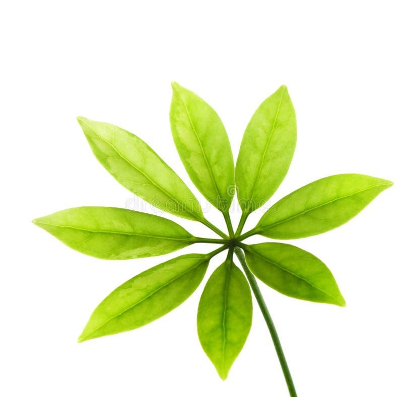 Fogli freschi di verde immagini stock libere da diritti