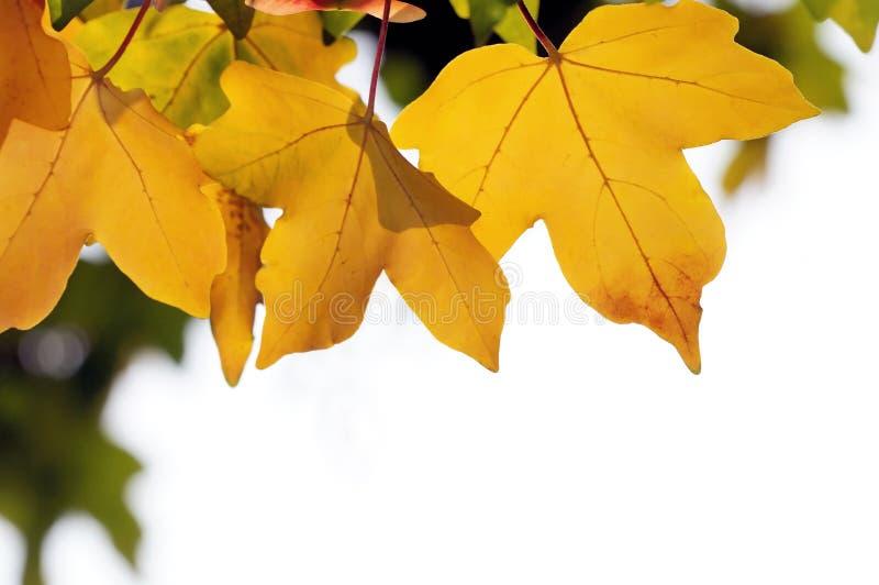 Fogli gialli di caduta fotografia stock