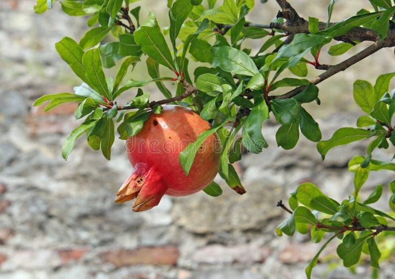 Fogli maturi dell 39 albero di melograno e di colore rosso e - Caduta fogli di colore stampabili ...