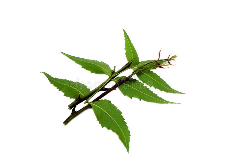 Fogli medicinali del neem immagini stock