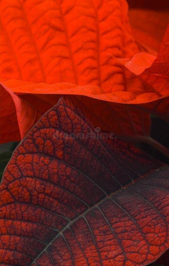 Fogli rossi del poinsettia fotografia stock libera da diritti