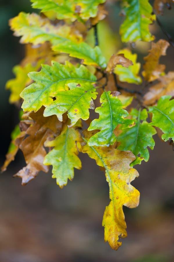 Fogli variopinti della quercia di autunno immagine stock