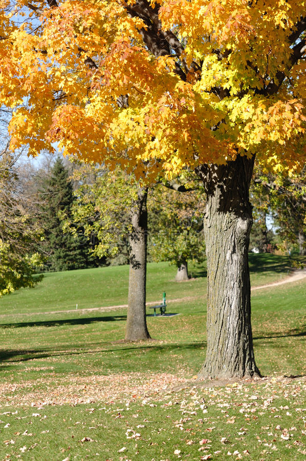 Fogli variopinti di colore giallo sull'albero di acero fotografia stock libera da diritti
