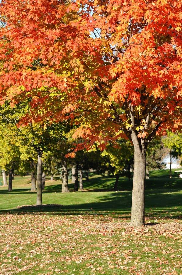 Fogli variopinti di colore rosso sull'albero di acero immagine stock libera da diritti
