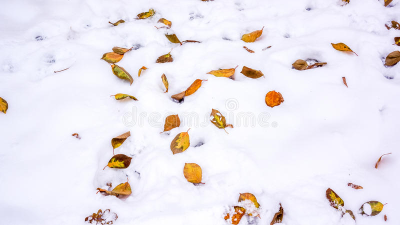 Fogli variopinti nella neve fotografie stock