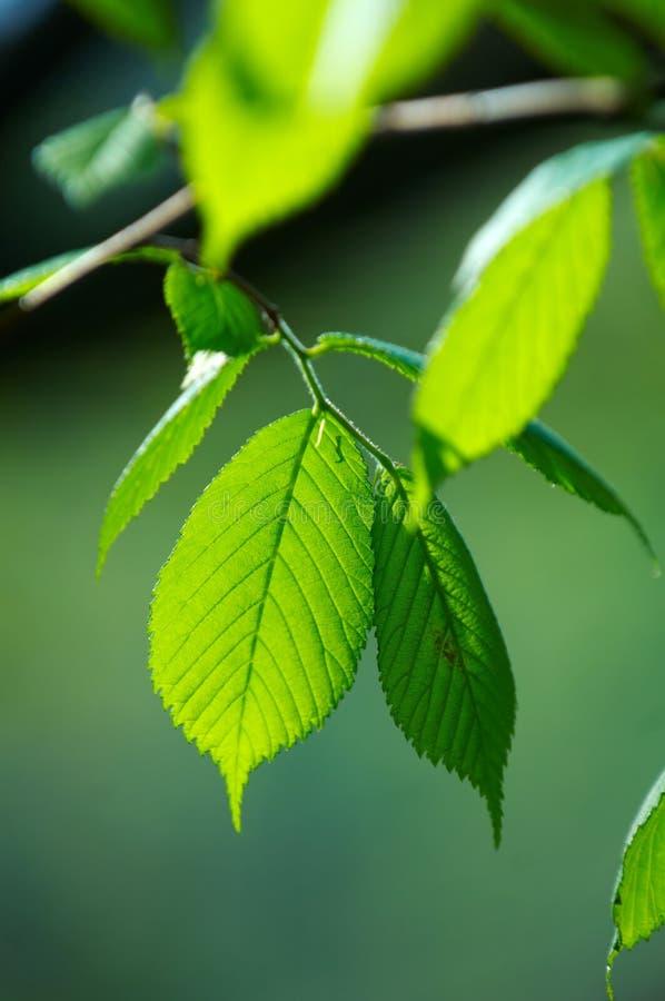 Fogli verde intenso fotografie stock libere da diritti