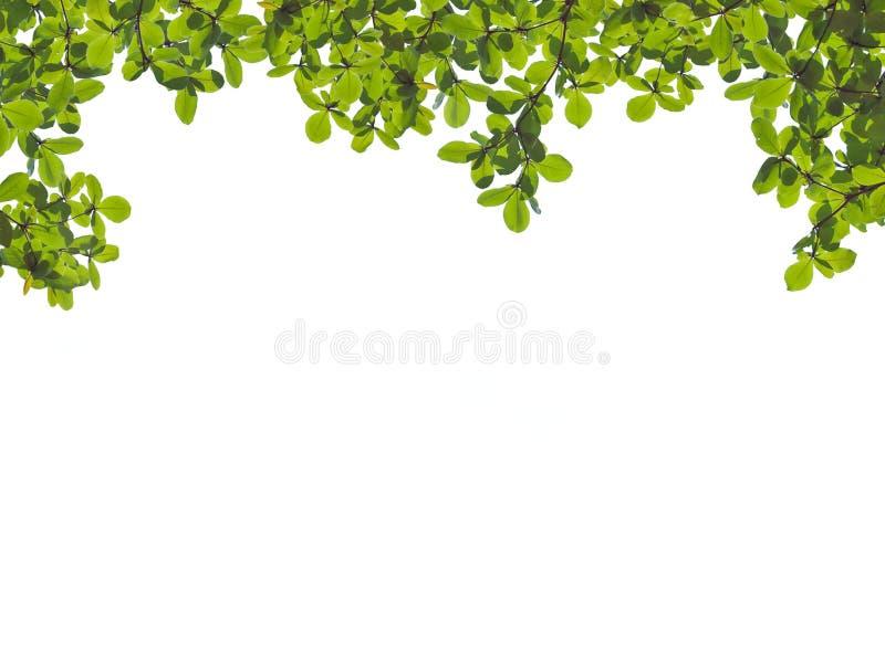 Fogli verdi immagini stock