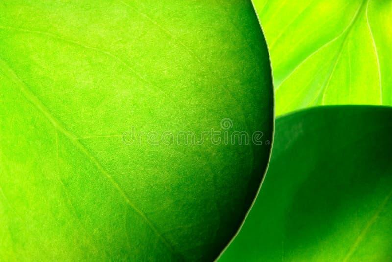 Fogli verdi fotografia stock