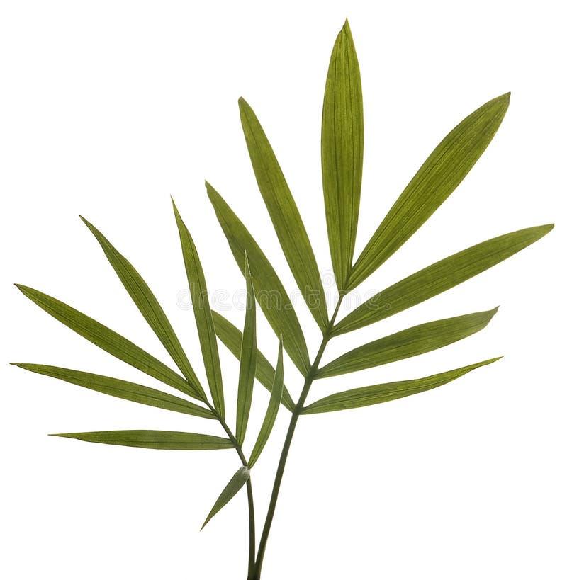 Fogli verdi del bambù isolati su bianco. fotografie stock