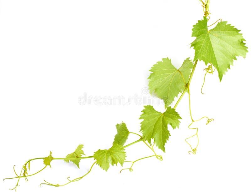 Fogli verdi del vino immagine stock