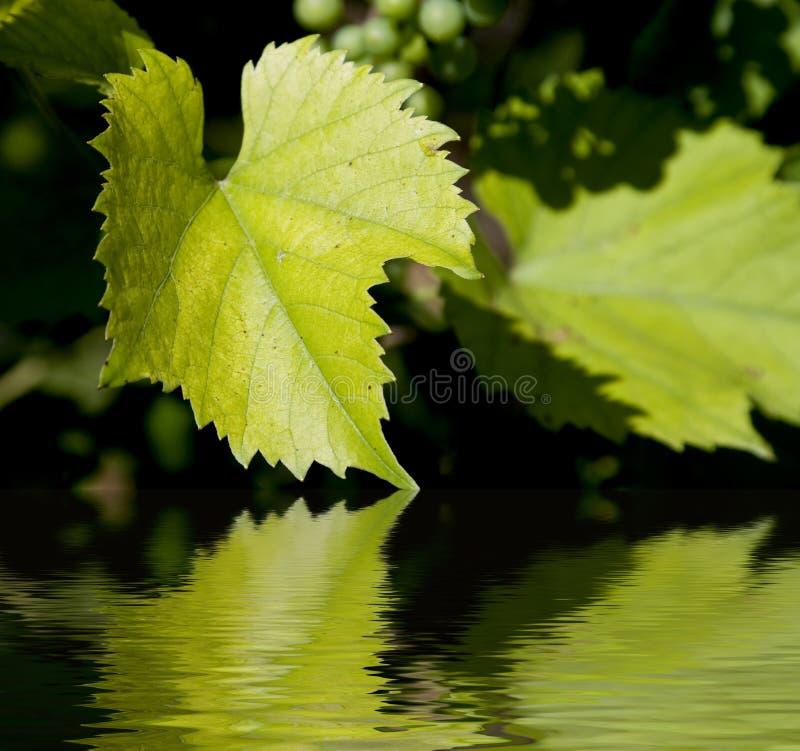 Fogli verdi del vino immagini stock libere da diritti