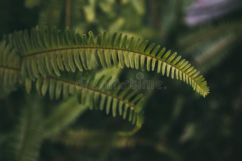 Fogli verdi della felce Chiuda sulla vista del fondo naturale della foglia della felce e strutturi fotografia stock libera da diritti