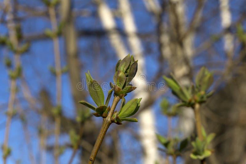 Fogli verdi freschi della sorgente immagine stock